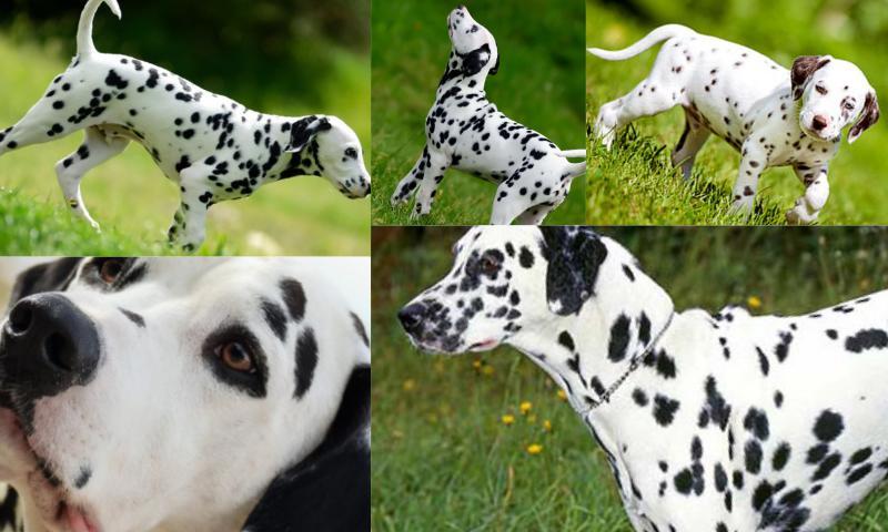 Dalmaçyalı Köpeklerin Özellikleri Nelerdir